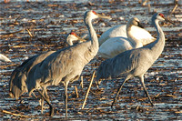 California WATERBIRDS