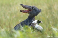 Shoebill mobbed by lapwing