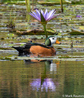 African Pygmy Goose- male