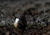 sage grouse-male on lek
