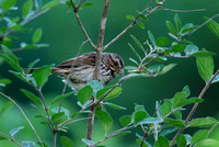 Song Sparrow-eastern