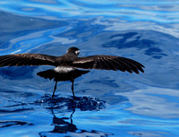 White-faced Storm-petrel walks on water looking for food