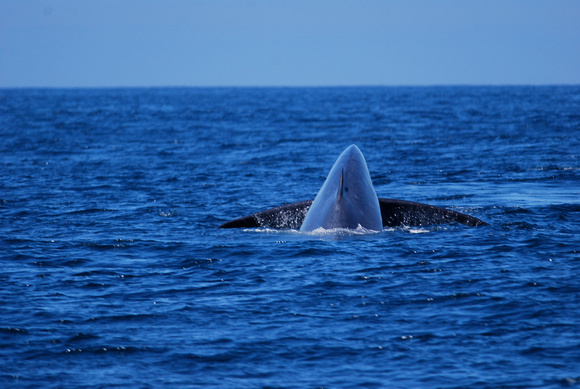 blue whale about to fluke #2