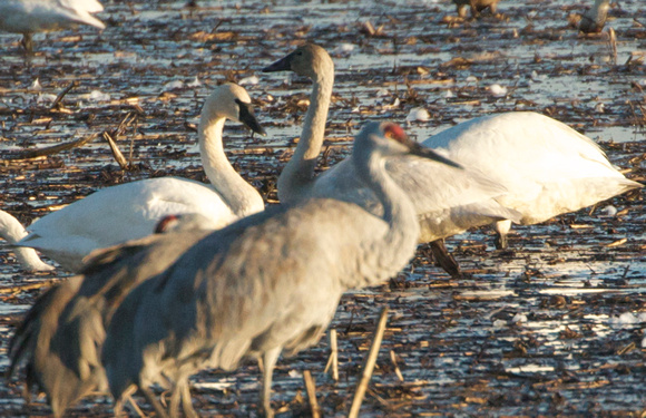 Tundra Swans (adult and Juvenile) and Crane