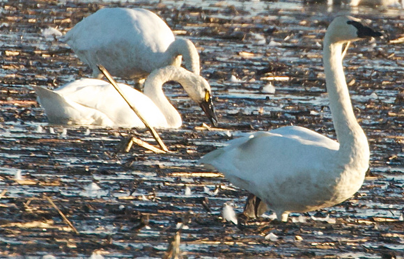 Tundra Swan with minimum and maximum yellow lores