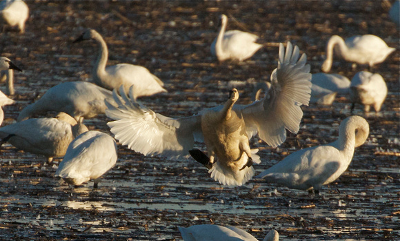 Tundra Swan coming in for a landing