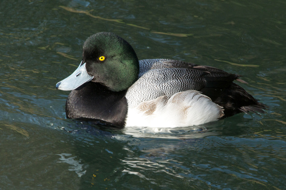 Greater Scaup - drake