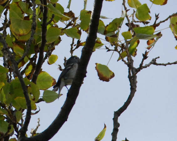 plumbeous vireo= first fall