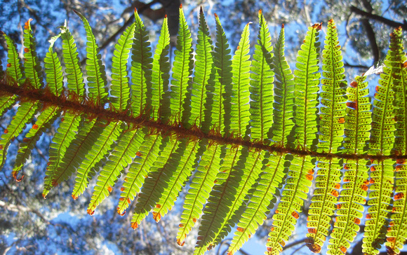 ferns by suzanne rauzon