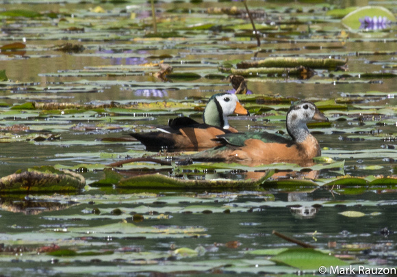 African Pygmy goose- male and female