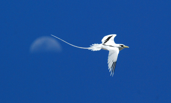 White-tailed Tropicbird flies over the moon