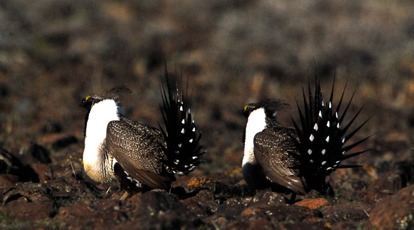 Greater Sage Grouse (Centrocercus urophasianus) males at lek