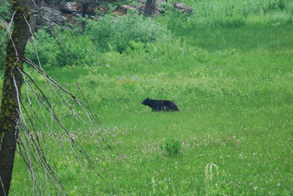 Black bear in Crescent Meadow, Sequoia NP