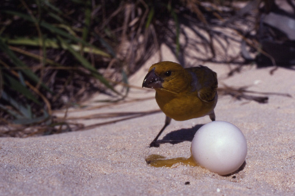 Laysan Finch, eating petrel egg.
