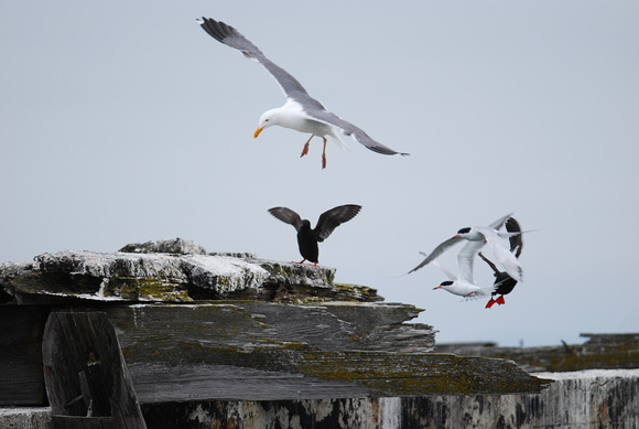 Guillemot, gull and tern