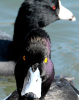 Tufted Duck & American Coot