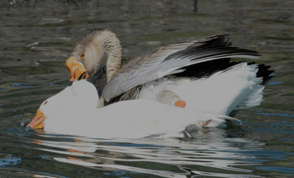 Mating Geese