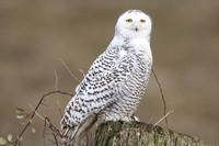 Yellow Eyes of Snowy Owl